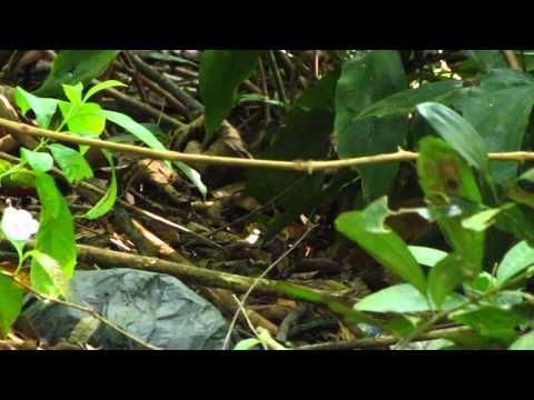 Siberian Blue Robin (1st winter male)-Singapore