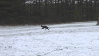Schatzi (black German Shepherd) Boot Camp Level Ii Dog Training Video