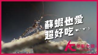 蘇蝦也愛的超好吃♥(´∀` )|水族星球(Aquarium Planet)|AC草影水族