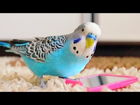 Budgie Singing To Mirror | Parakeet Sounds