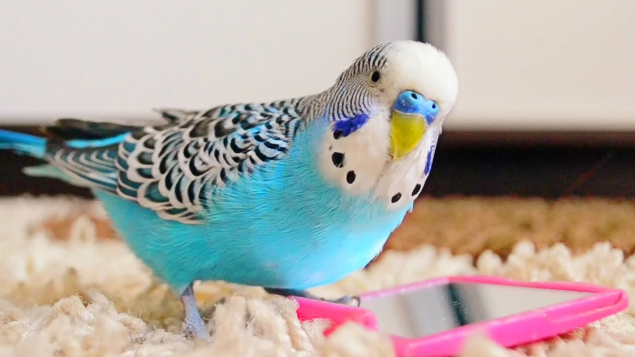 Budgie singing to mirror | Parakeet Sounds - YouTube