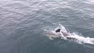 Group of Dolphins Swim Alongside Tour Boat