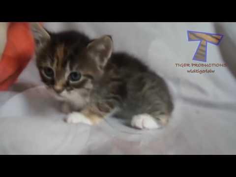 Miyavlayan Kediler