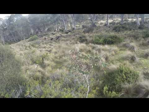 Tasmanian Wallaby Hunting With Dogs