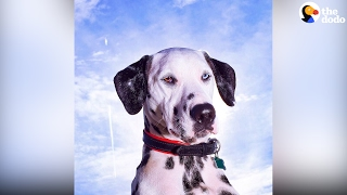 Deaf Dalmatian Learns Sign Language, Is A Therapy Dog Now | The Dodo