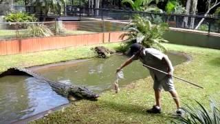 saltwater crocodile attack