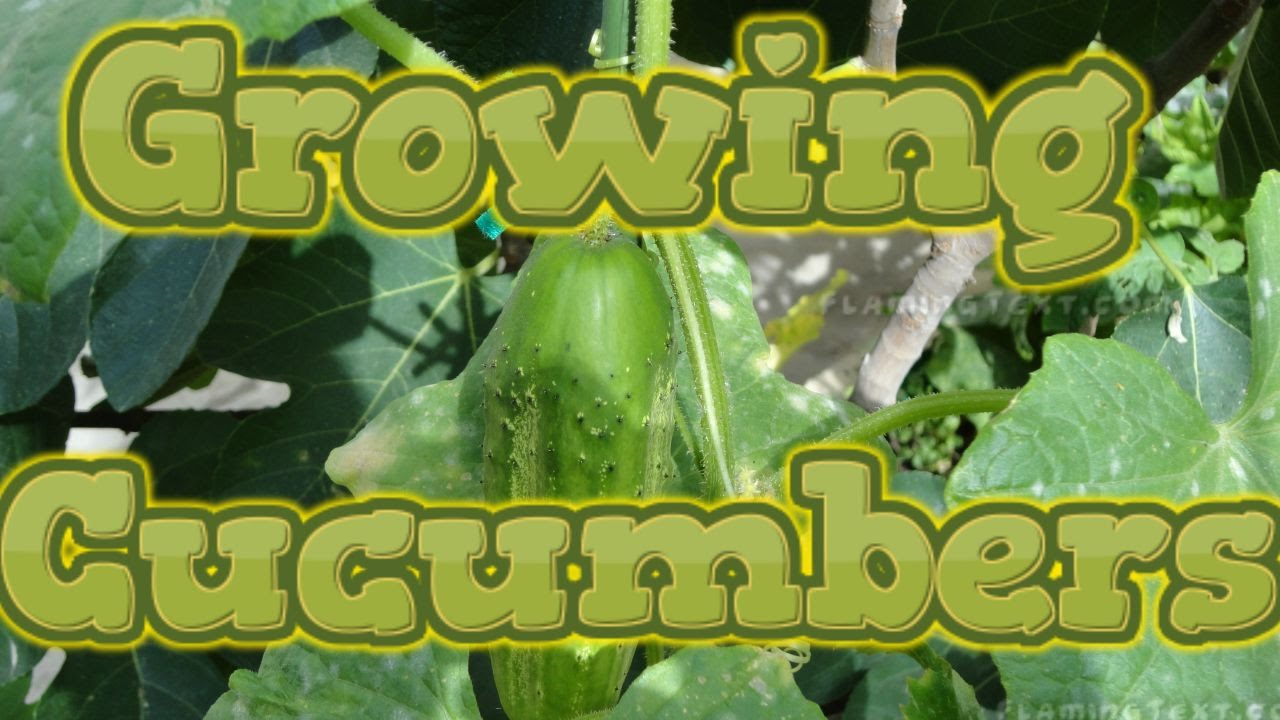 How long does it take for cucumbers to mature pic 836