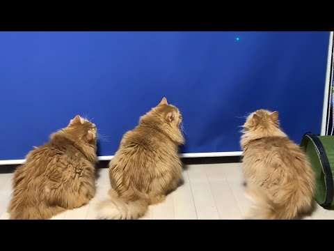 cats-vs-laser-pointer【マンチカンズ-】レーザーポインターに対する猫の反応