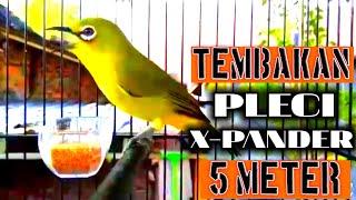 [4.50 MB] PLECI MAHAL !!! X-Pander Nembak wit wit panjang