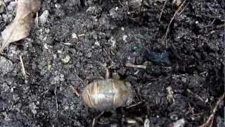 先日のゲリラ豪雨で避難してきたのか地上でセミの幼虫がひっくり返って...
