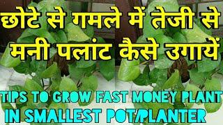 Tips to grow100% money plant in smallest pot/planter,छोटे से गमले में तेजी से मनी पलांट कैसे उगायें