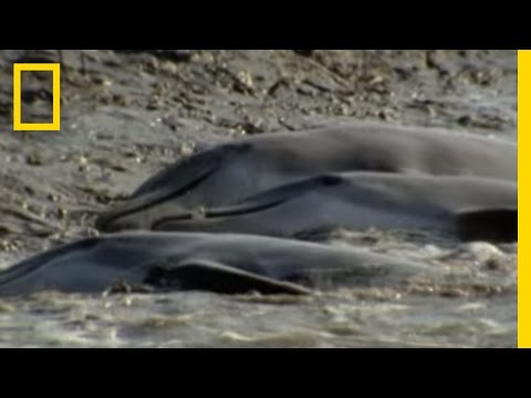 Dolphins Hunt on Sandy Shore | National Geographic