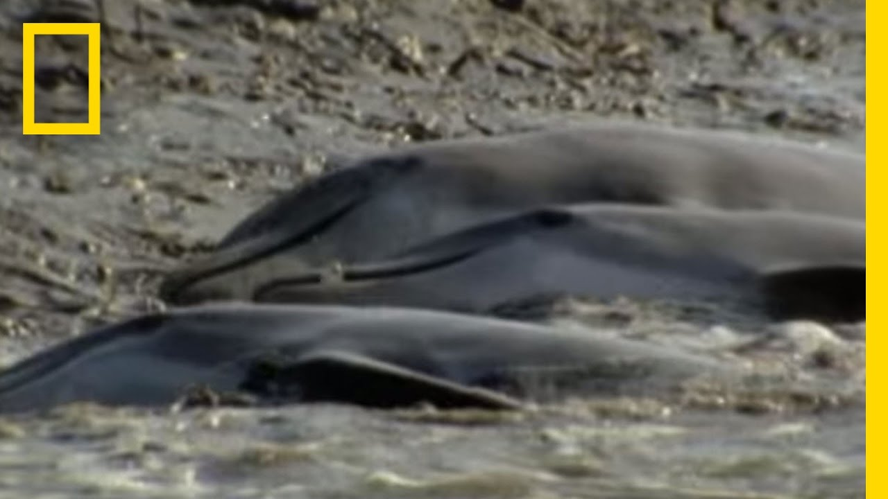 dolphins hunt on sandy shore national geographic youtube