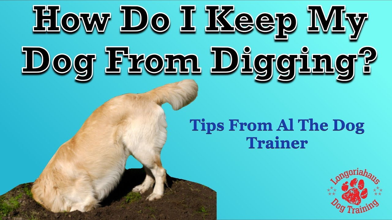How Do I Keep My Dog From Digging In Yard Tips Al The Trainer