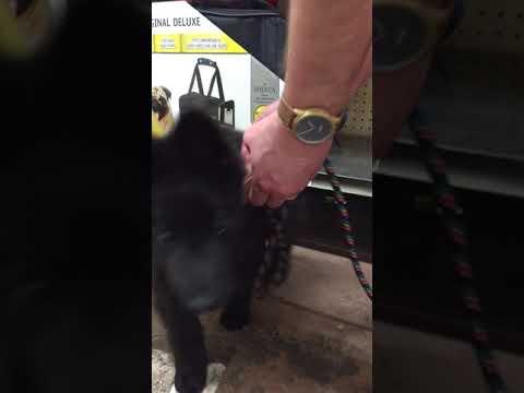 Groenendael Puppy Getting His First Leash