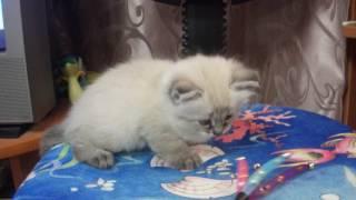 Мисс София рассказывает про котеночка породы невская маскарадная!