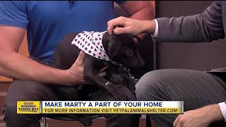 Pet of the week: Marty is a 2-month-old Labrador Retriever mix who needs a loving home thumbnail