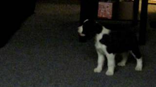 Springer Spaniel Puppy Barking At Reflection