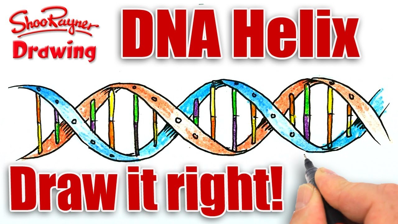 How to draw the dna helix correctly youtube ccuart Image collections