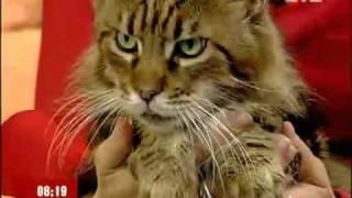 Мейн-кун (maine coon cat). Самые большие коты в мире.