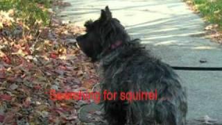 Walk For A Sight-hound Cairn Terrier
