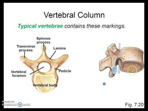 Axial Skeleton pt2 vertebral column