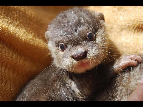 Image result for Asian small-clawed otter pups