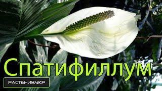Спатифиллум уход в домашних условиях / цветок женское счастье(, 2015-02-06T16:30:01.000Z)