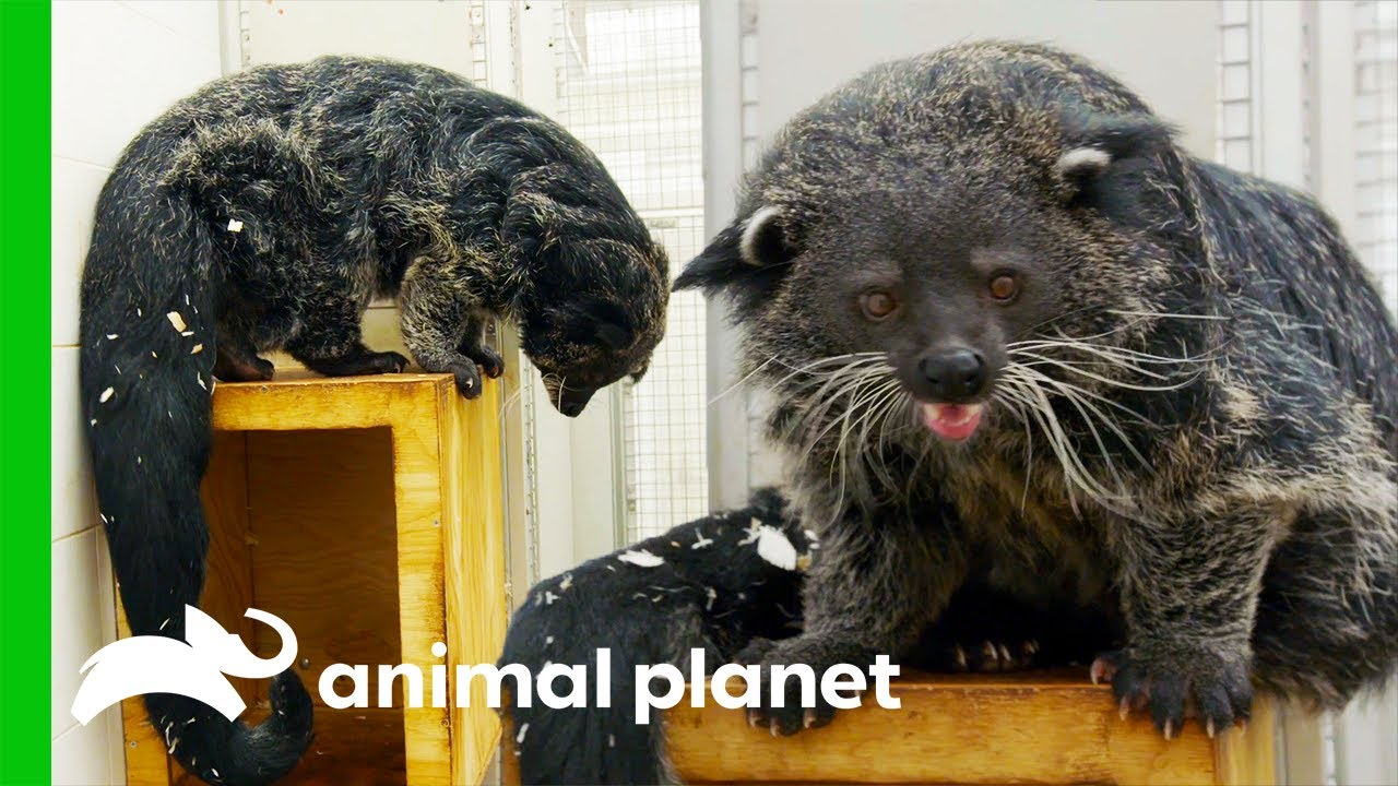 Download This Binturong Needs His Vaccines! | The Zoo