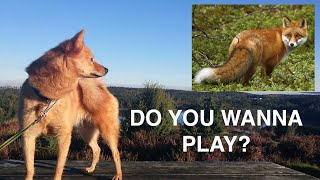 Finnish Spitz argues with Fox