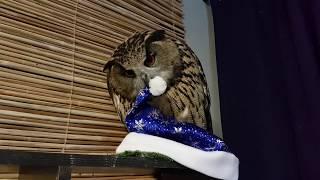 Вкусные сочные новогодние шапочки. В конце бонус - заснувшая филин Ёлка.