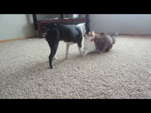 Gentle Boston Terrier Plays with Cat