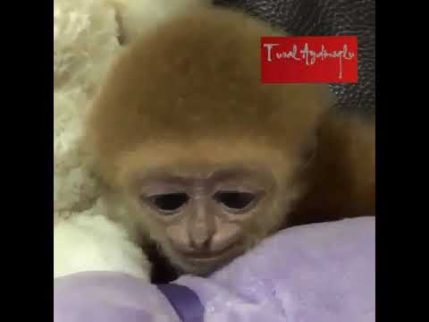 Tatli Maymun Youtube