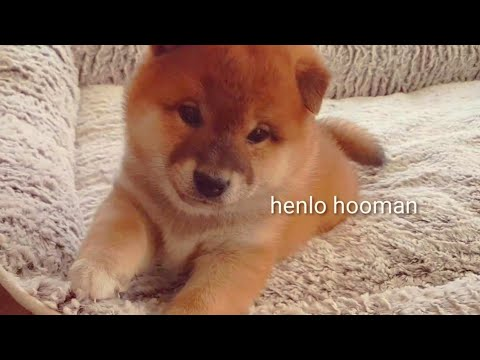 Will u boop my snoot? Shiba Inu puppies (with captions)