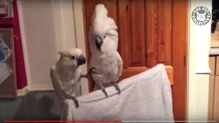 śmieszne papugi które naśladują zwierzęta