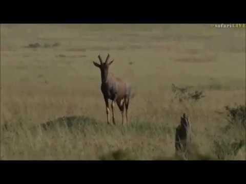 Safari Live : James in the Masai Mara this morning June 21,2017