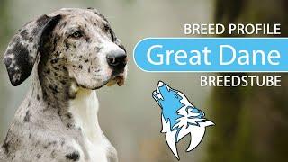 Great Dane Breed, Temperament & Training
