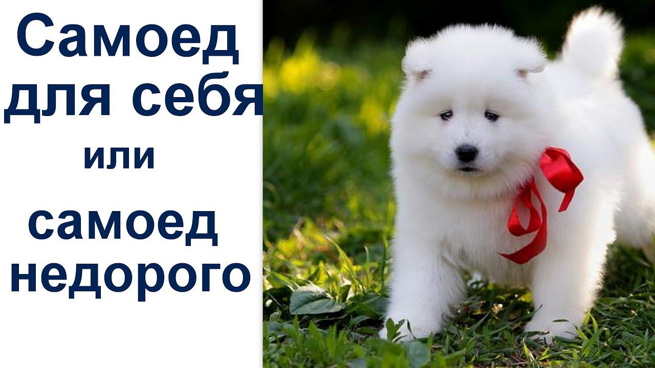 На нашем сайте вы сможете купить породистого щенка шпица в москве. Мы компания с отличным качеством исполнения работы.