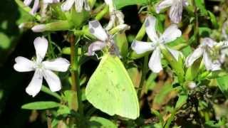"Cloudless Sulphur, ""Only One Me"" - September 14, 2013"