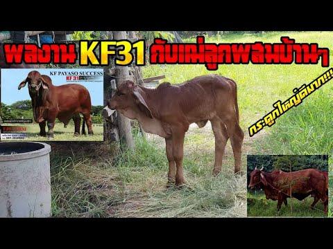 ลูก KF 31 กับแม่ลูกผสมบ้านๆ แต่ผลงานสุดยอด / OK FINZ / OK FARM