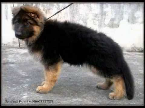 Long Coat German Shepherd Puppies at SangFroid Kennel - YouTube