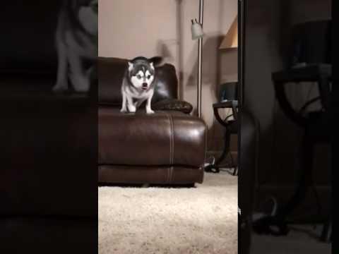Kodiak Mini Husky dog slow motion
