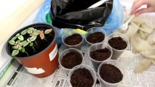 видео Гипоэстес цветок уход в домашних условиях выращивание из семян