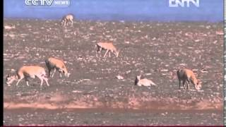 Birthing season for Tibetan antelopes