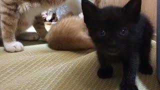 生後1ヶ月の子猫のクロちゃんがミルクを飲む姿です。ママのミルクを独り...