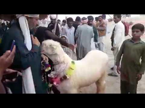 Rajan Puri bakra Mohammad Puri Bakre by Animal Family Goat Farming Bakra  Mandi Pakistan