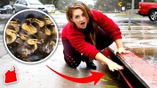We Found Baby Ducks Trapped in a Sewer! (Amazing Rescue!)