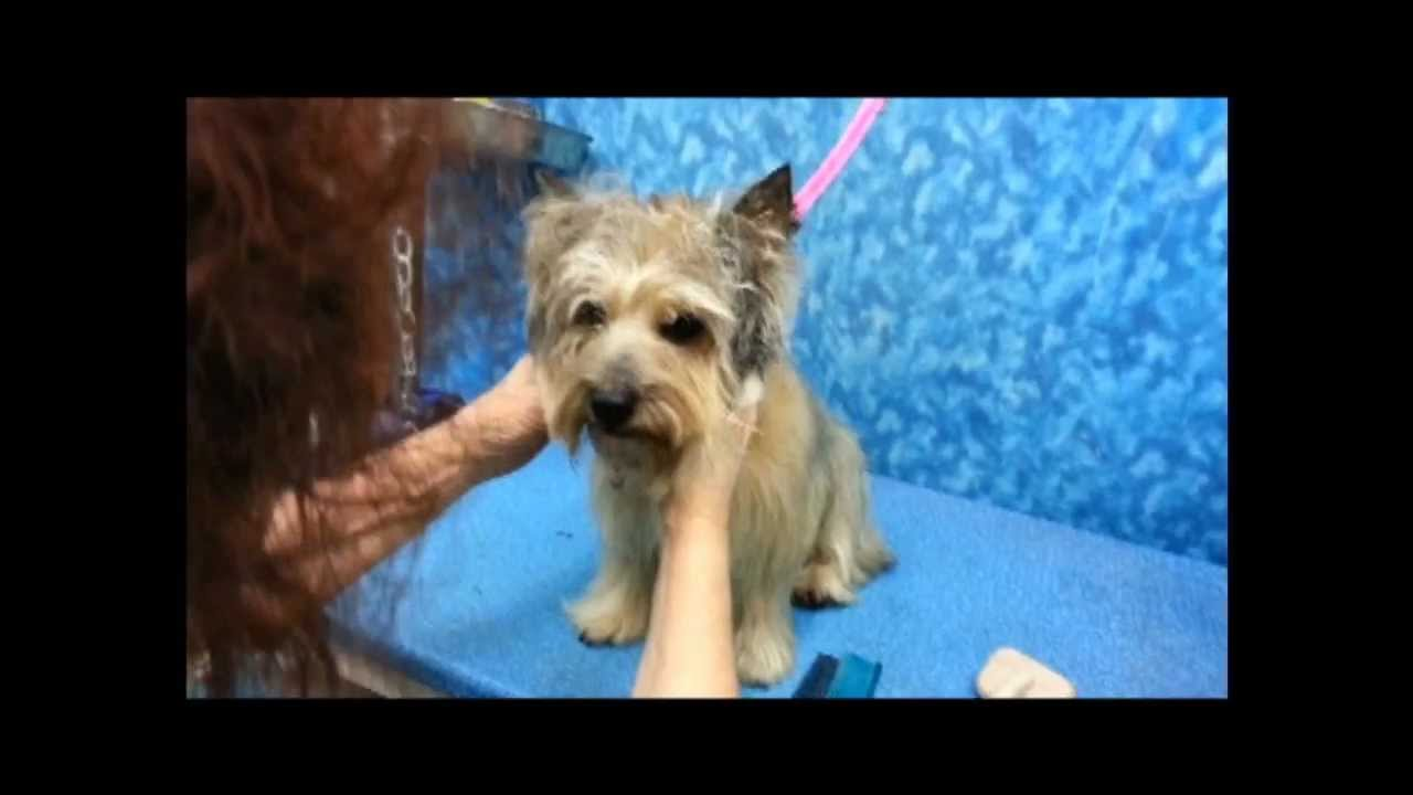 cairn grooming - youtube