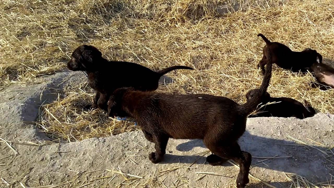 Chocolate AKC hunting lab puppies - YouTube