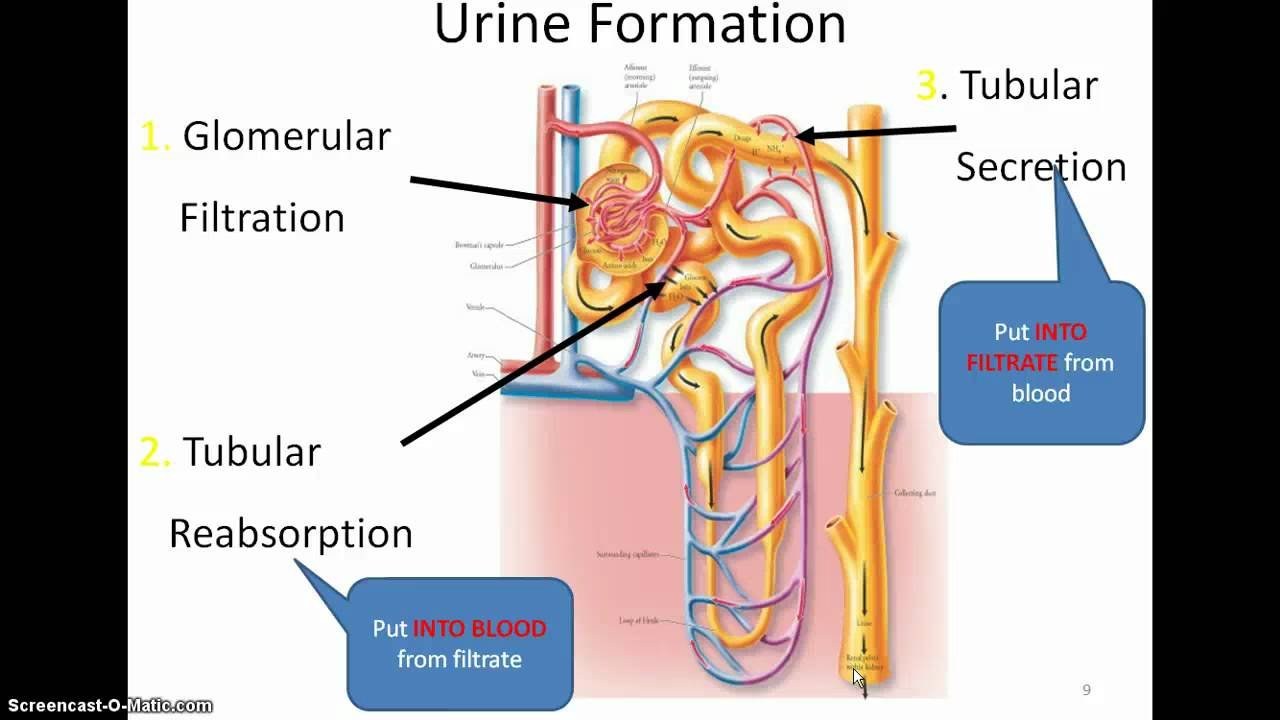 Groß Anatomy And Physiology Of Urinary System Powerpoint Galerie ...